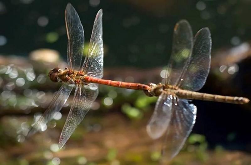 Секс африканские стрекозы
