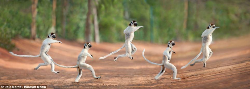 lemurs01 Прыгающие лемуры Мадагаскара
