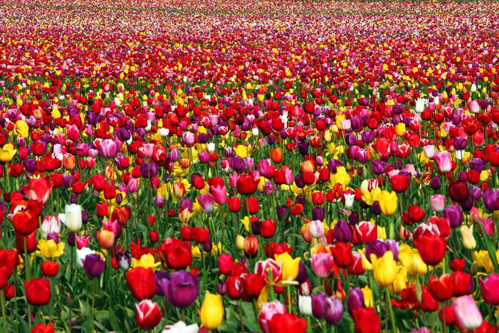 """Тюльпан довольно древняя культура.  Есть версия, что название пошло от слова  """"тюрбан """", восточного головного убора..."""
