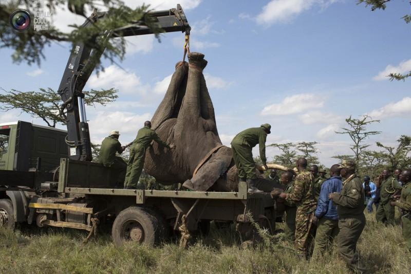 elephant01 800x533 Служба охраны дикой природы Кении переселяет слонов