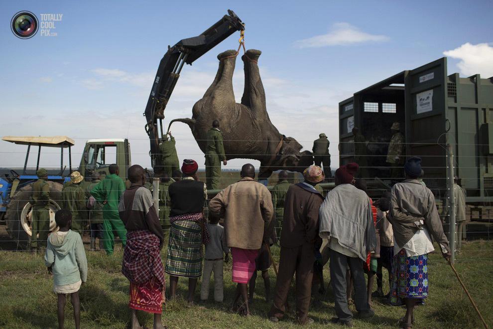 elephant02 Служба охраны дикой природы Кении переселяет слонов