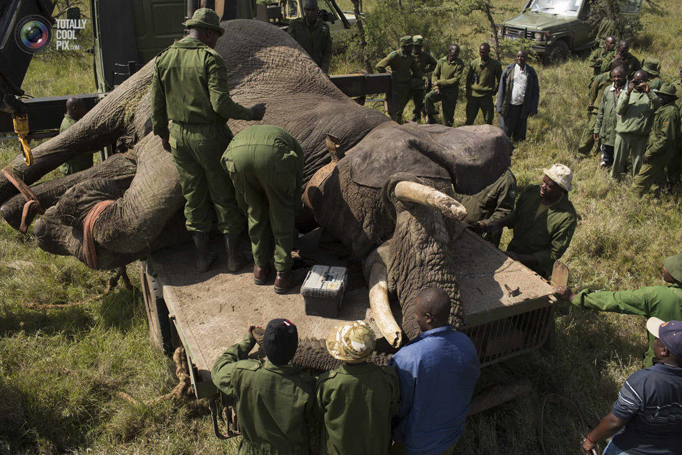 elephant05 Служба охраны дикой природы Кении переселяет слонов