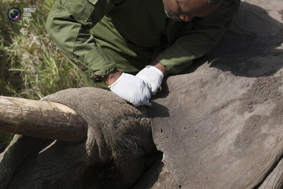 elephant06 Служба охраны дикой природы Кении переселяет слонов