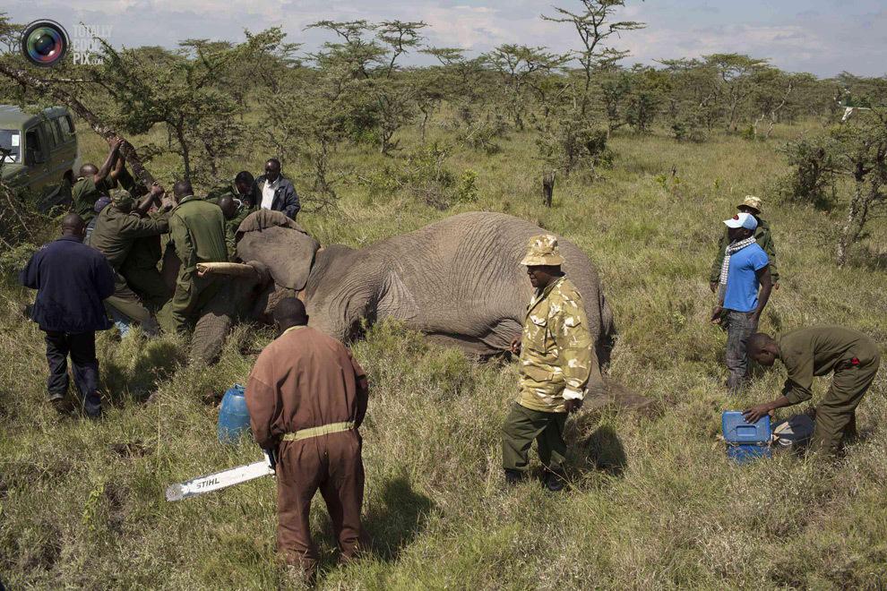 elephant07 Служба охраны дикой природы Кении переселяет слонов