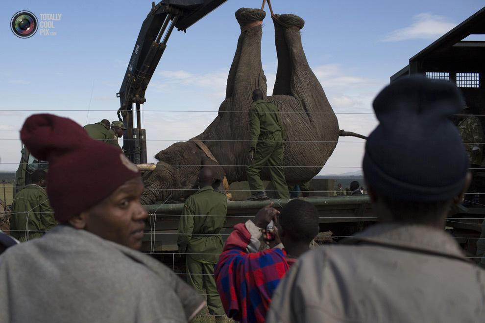 elephant09 Служба охраны дикой природы Кении переселяет слонов