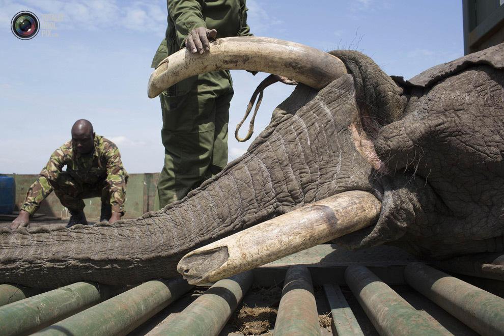 elephant10 Служба охраны дикой природы Кении переселяет слонов
