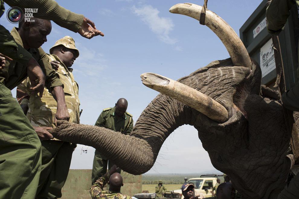 elephant11 Служба охраны дикой природы Кении переселяет слонов