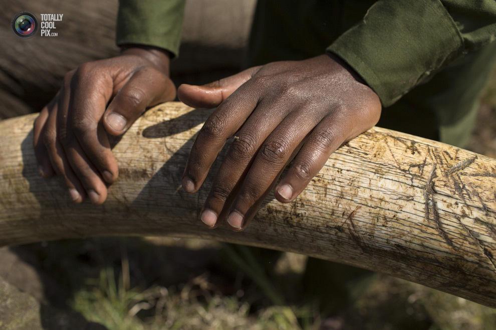 elephant12 Служба охраны дикой природы Кении переселяет слонов