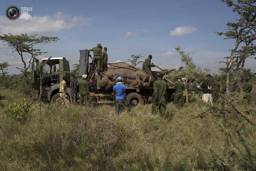 elephant13 Служба охраны дикой природы Кении переселяет слонов