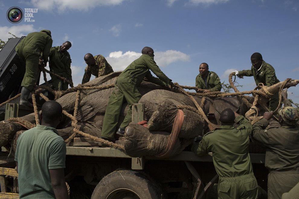 elephant15 Служба охраны дикой природы Кении переселяет слонов