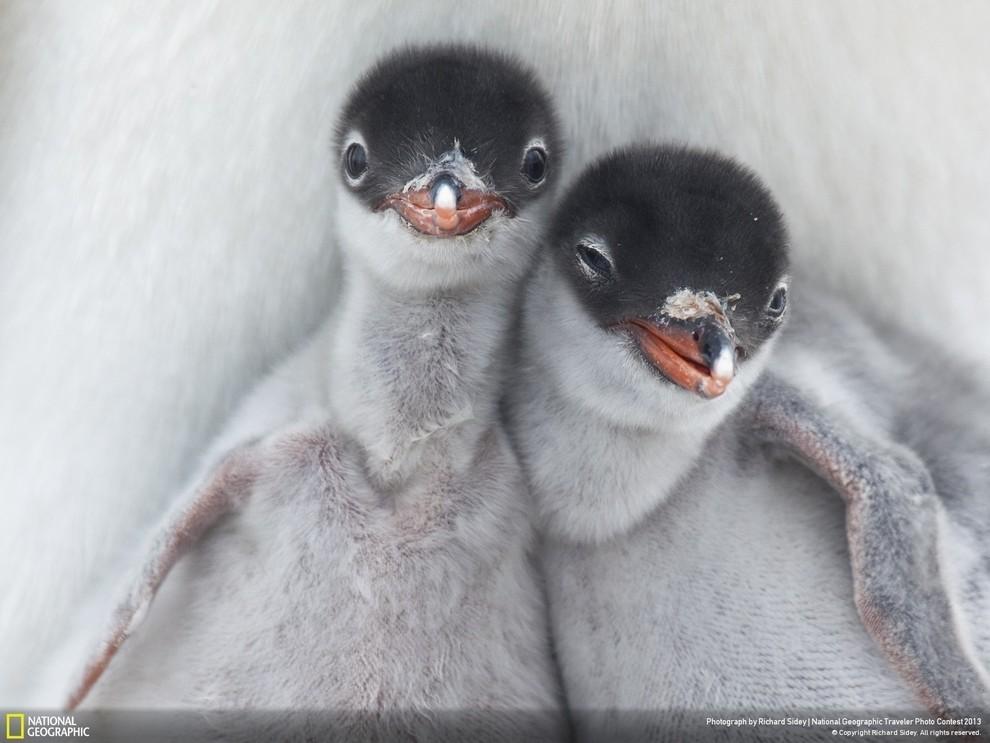 natgeocontest35 35 лучших фото животных на фотоконкурсе National Geographic Traveler