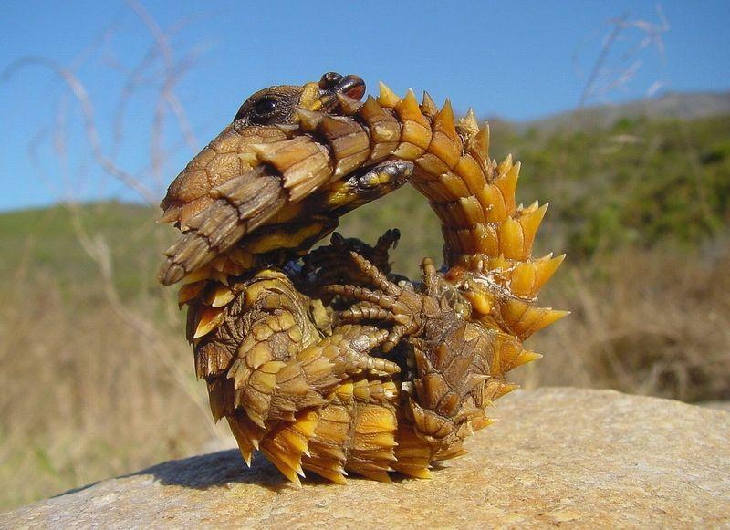 Cordylidae01 Дневные ящерицы — поясохвосты