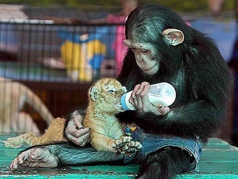 InterspeciesFriends01 Животные помогают друг другу