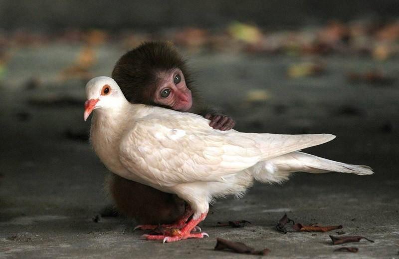 InterspeciesFriends07 Животные помогают друг другу