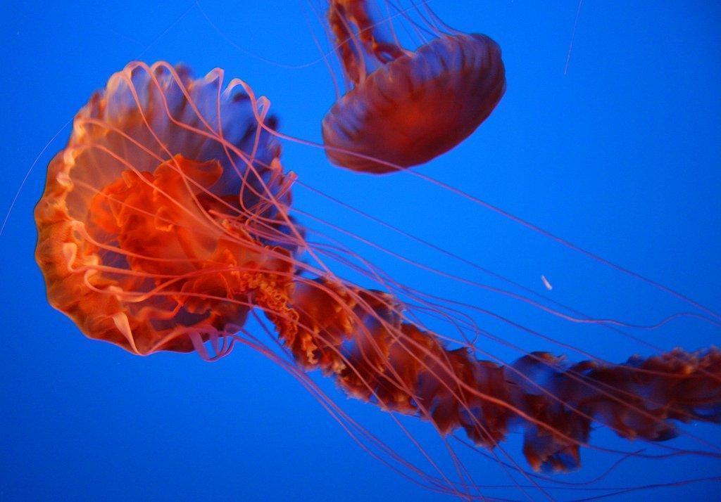 Jellyfish16 Самые красивые и яркие медузы