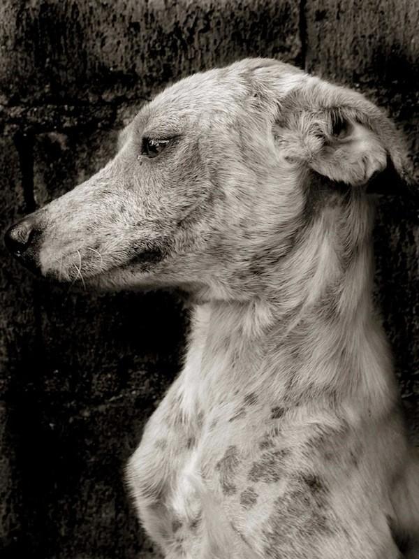StreetDogs05 Выразительные и трогательные портреты уличных собак