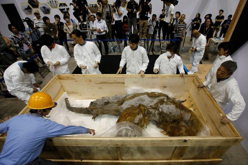 Yuka01 Самый известный мамонт из Якутии: Юка