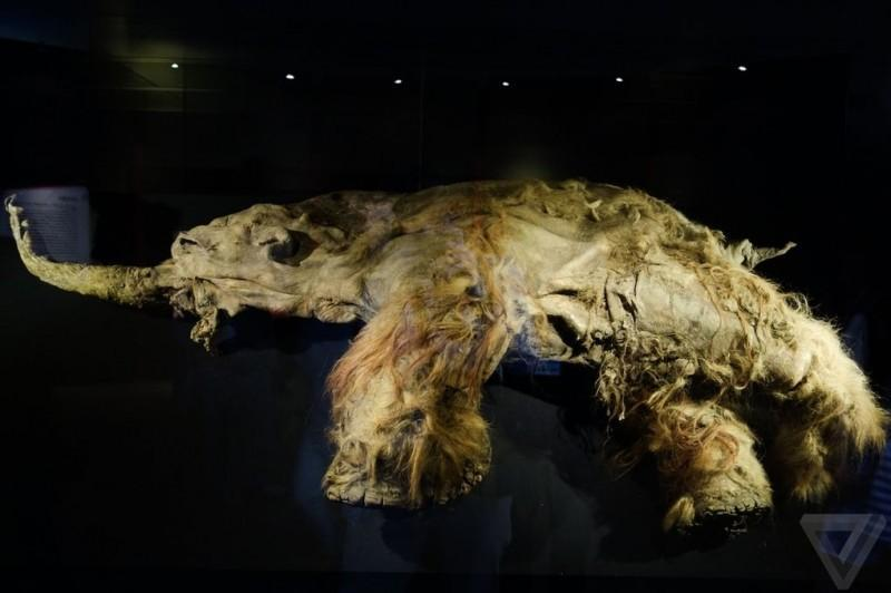 Самый известный мамонт из Якутии: Юка