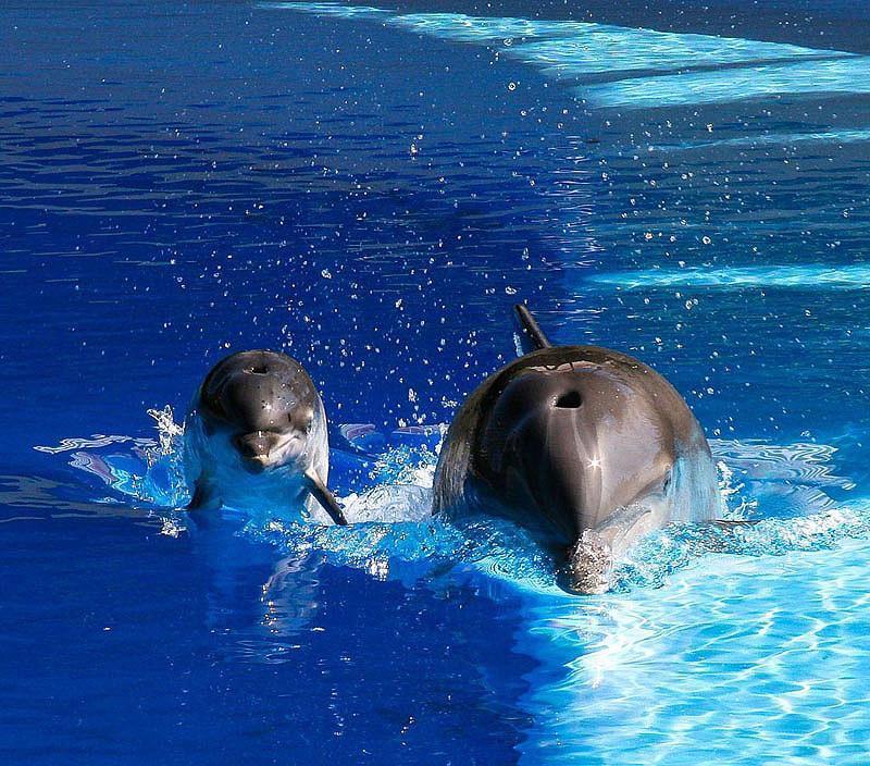 dolphins03 Самые удивительные факты о дельфинах