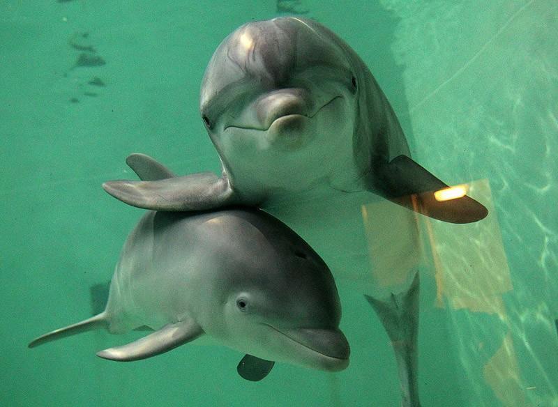 dolphins04 Самые удивительные факты о дельфинах