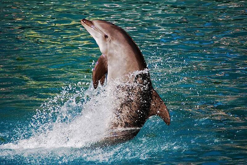 dolphins05 Самые удивительные факты о дельфинах