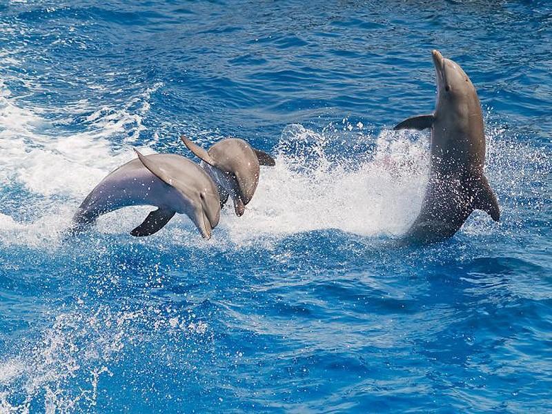 dolphins07 Самые удивительные факты о дельфинах