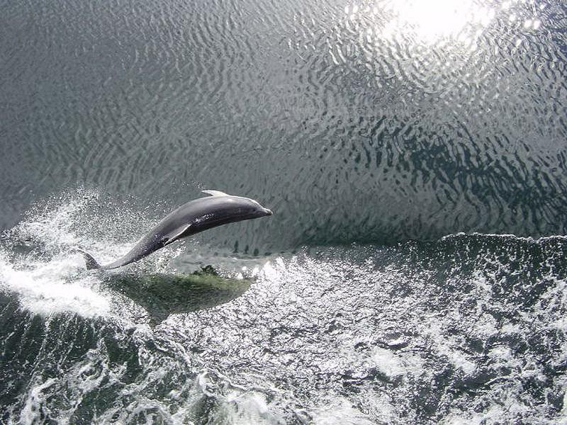 dolphins08 Самые удивительные факты о дельфинах