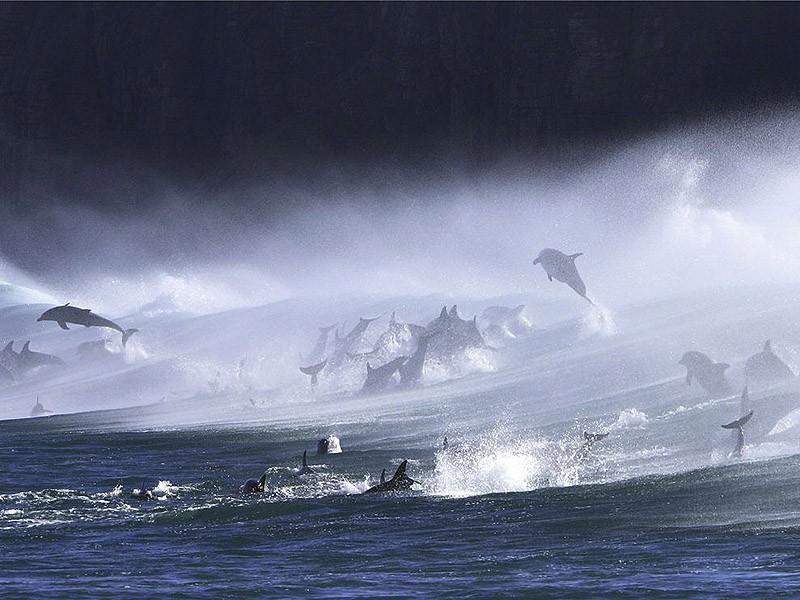 dolphins10 Самые удивительные факты о дельфинах