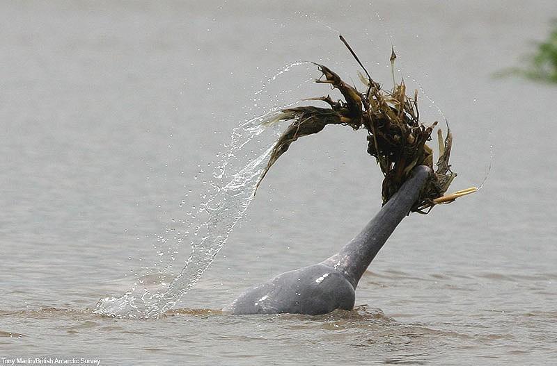 dolphins17 Самые удивительные факты о дельфинах