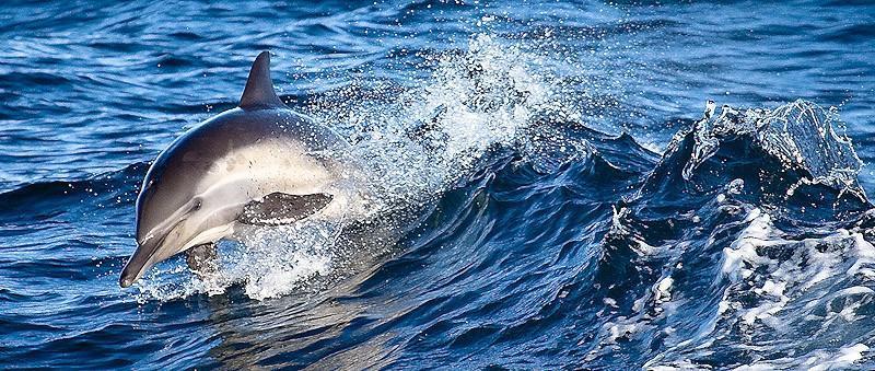 dolphins18 Самые удивительные факты о дельфинах