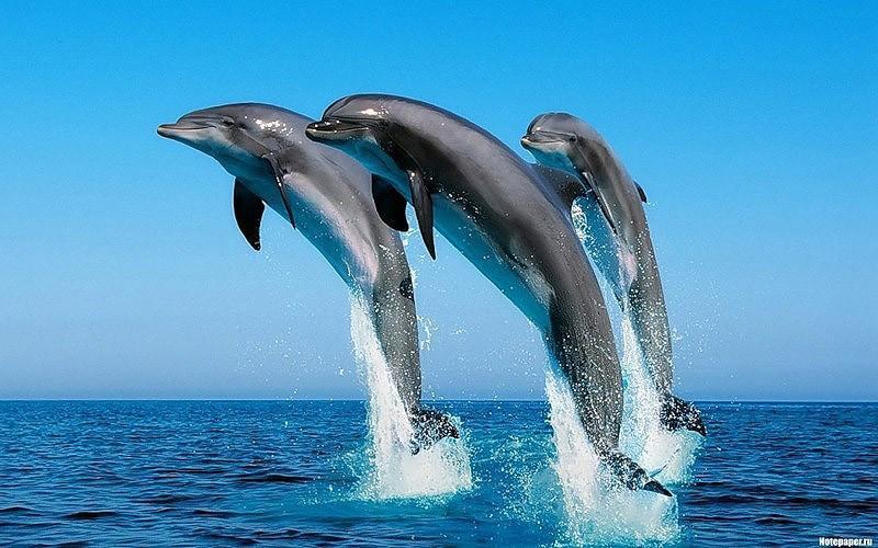 dolphins19 Самые удивительные факты о дельфинах