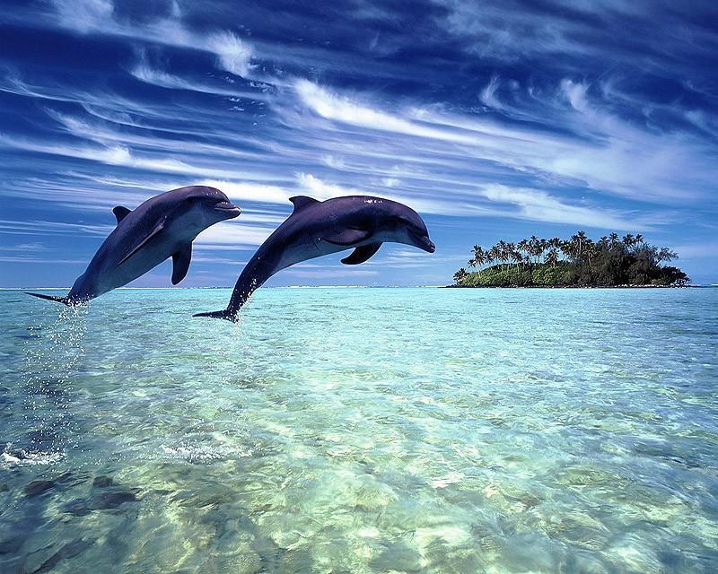 dolphins20 Самые удивительные факты о дельфинах