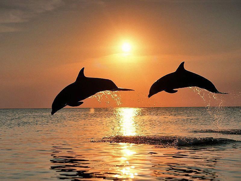 dolphins21 Самые удивительные факты о дельфинах