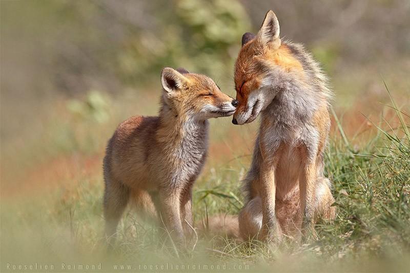 fox09 Душещипательные фотографии очаровательных лисят