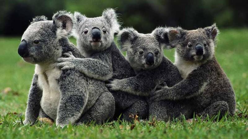 Koala16 800x449 Самые удивительные факты о коалах