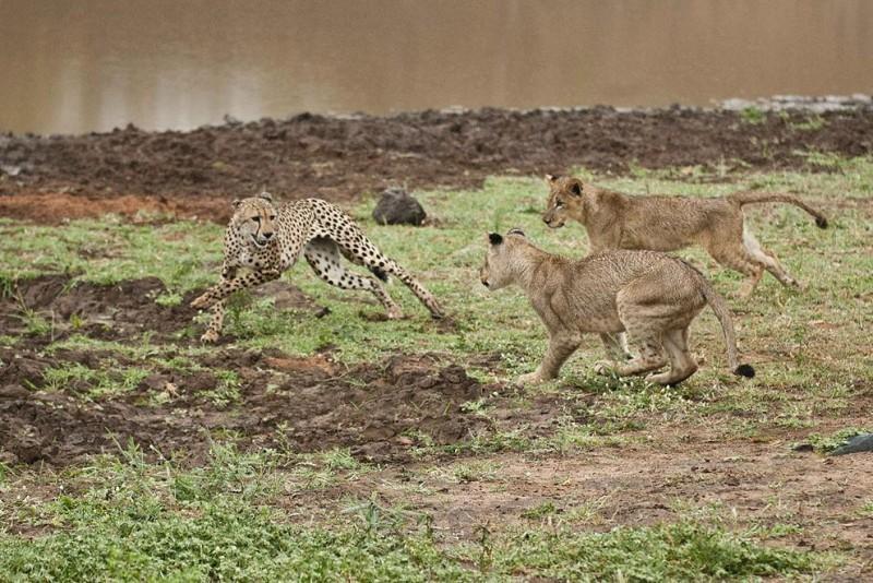 Львята повздорили с гепардом