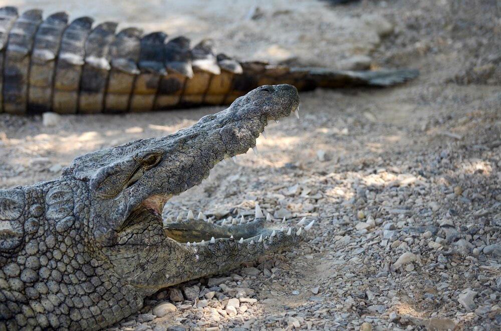 крокодилья ферма в Израиле