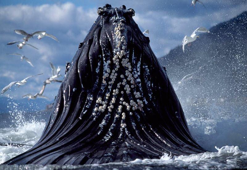 9. Горбатые киты могут петь. Ученые доказали, что во время брачного сезона «поющие» звуки эволюционируют с каждым годом и даже передаются через поколения.
