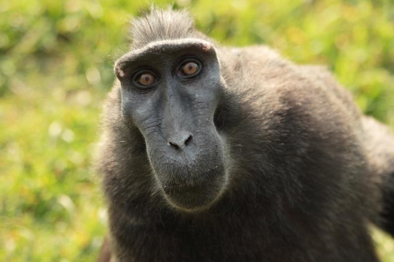13. Обезьяны не любят неравные поощрения. Во время последнего эксперимента ученые наградили двух обезьян по-разному за одну и ту же проделанную работу. Скажем так, обезьяна, которая вместо винограда получила камень, была не очень счастлива.
