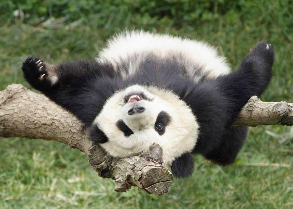 pandas01 Самые милые и забавные панды