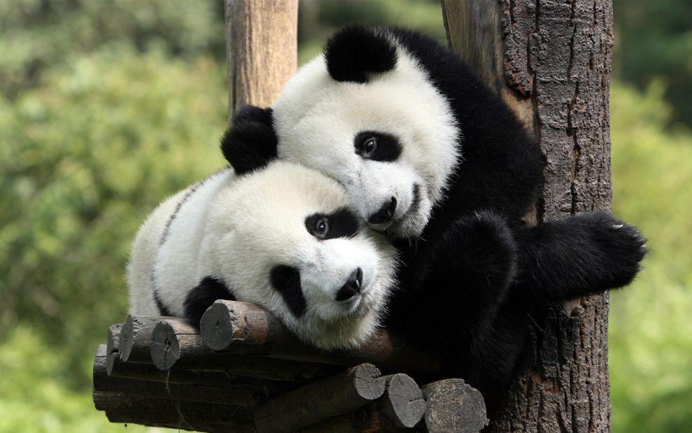Самые милые и забавные панды