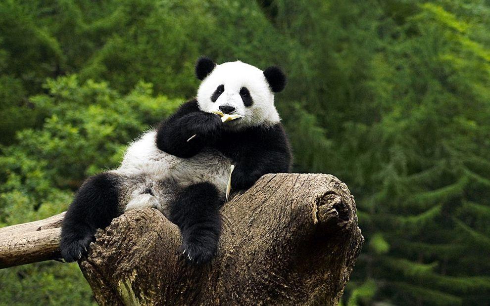 Wallpapers Bears Pandas Animals.