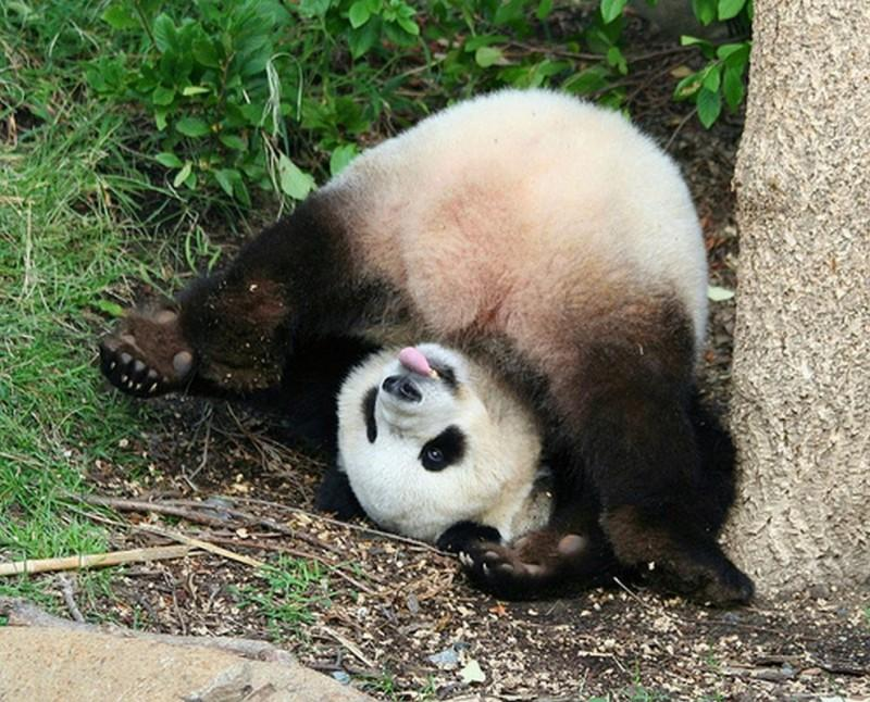 pandas15 800x646 Самые милые и забавные панды