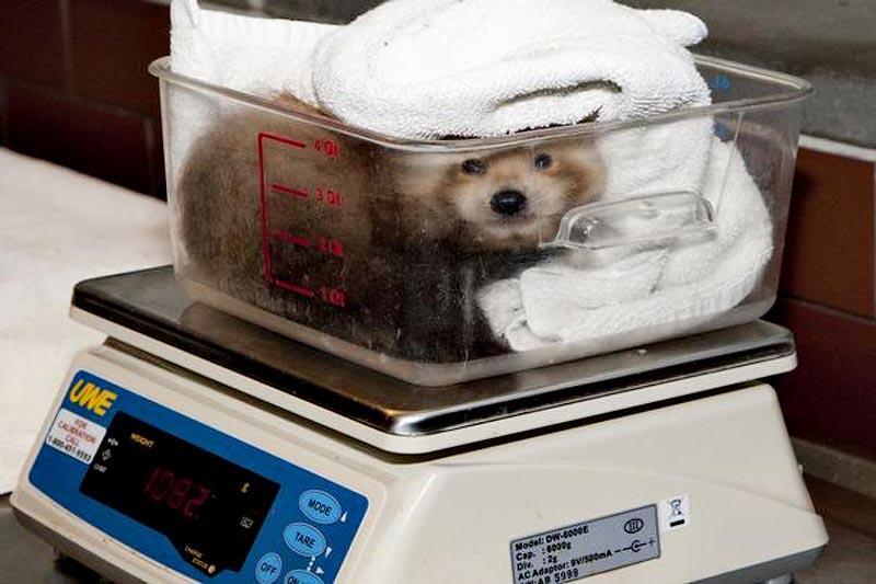 zooweight02 18 самых необычных фотографий, показывающих, как взвешивают животных