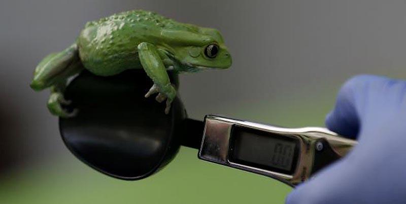 zooweight06 18 самых необычных фотографий, показывающих, как взвешивают животных