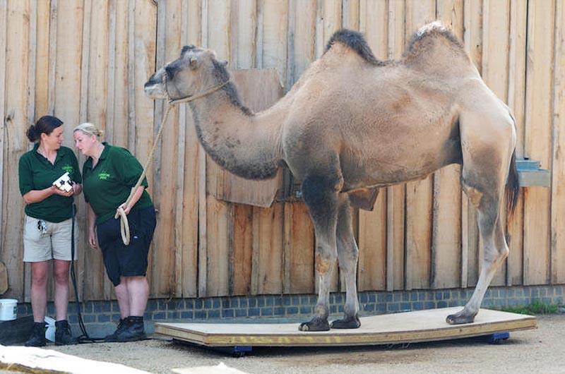 zooweight10 18 самых необычных фотографий, показывающих, как взвешивают животных