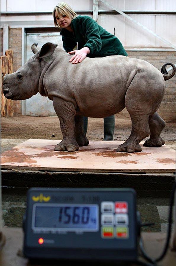 zooweight17 18 самых необычных фотографий, показывающих, как взвешивают животных