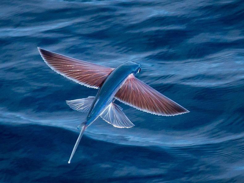 Exocoetidae01 Летучие рыбки Exocoetidae