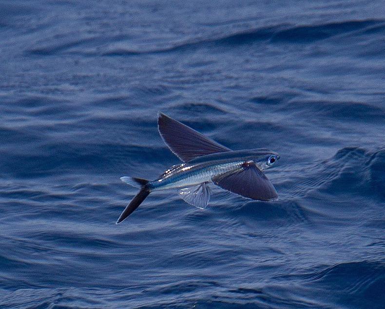 Exocoetidae11 Летучие рыбки Exocoetidae