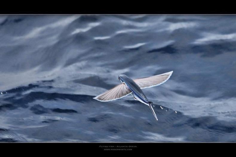 Exocoetidae12 Летучие рыбки Exocoetidae